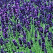 Essential Oil - English Lavender- MSDS