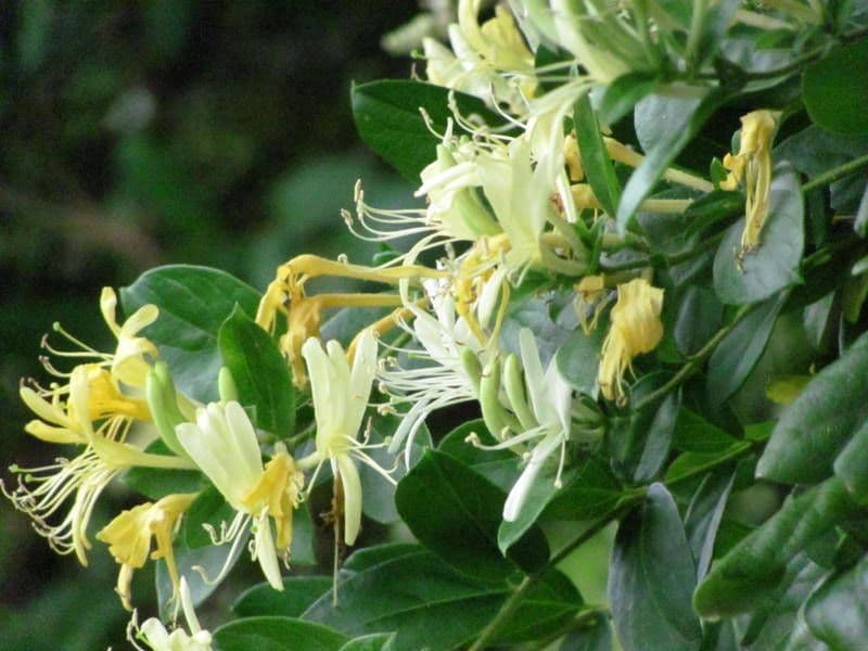 Special Blend Candle Oil  - Honeysuckle Cutgrass